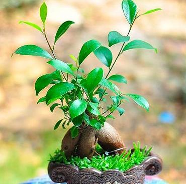 人参榕盆栽